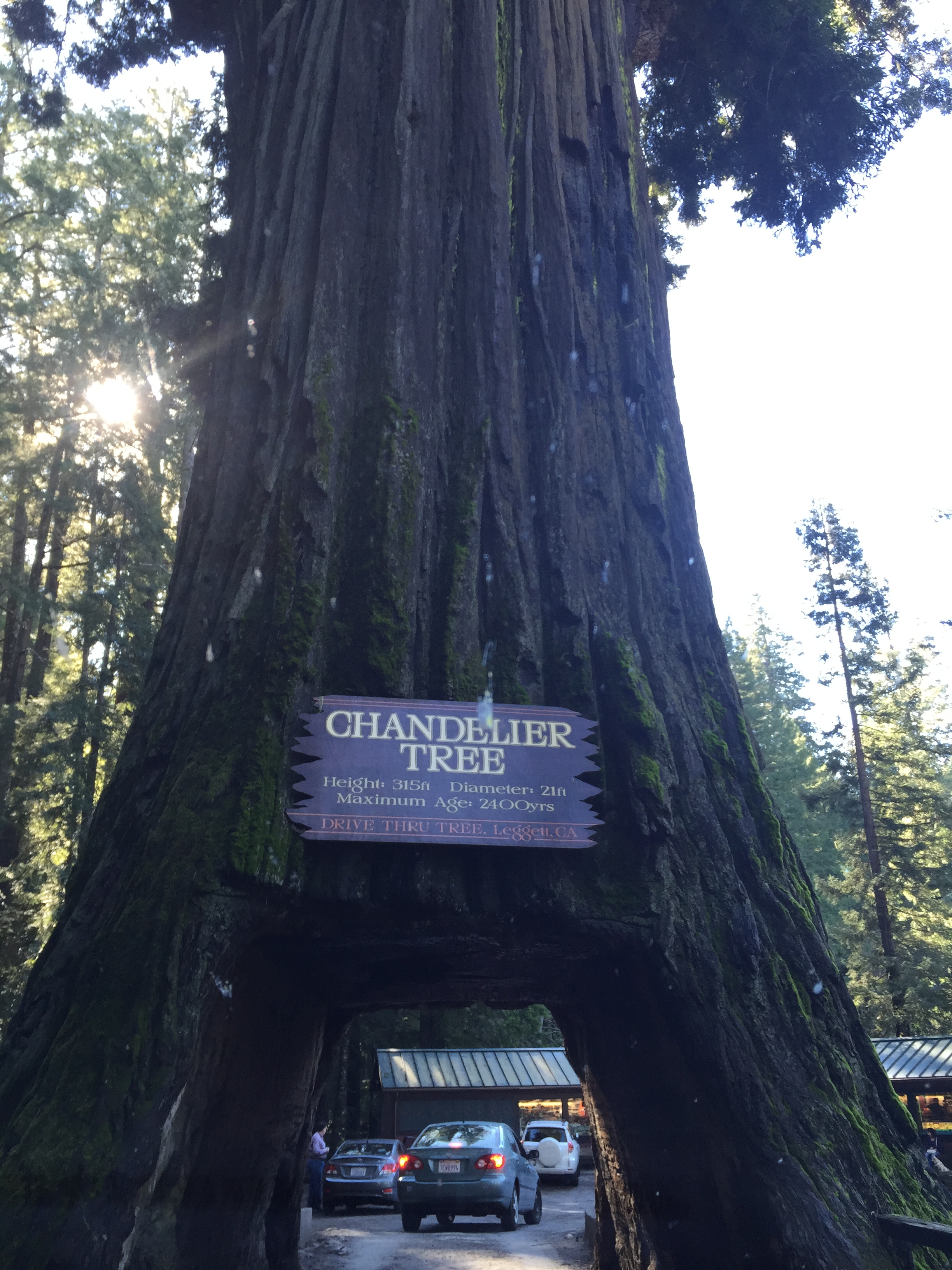 Chandelier tree a clark griswold must see in californias redwoods chandelier tree arubaitofo Images
